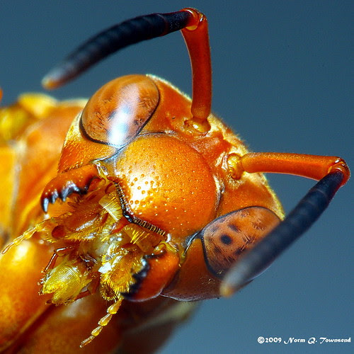 _Red Wasp mouth open 3129.JPG.xcf