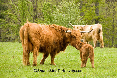 Highland Cow Protecting Her Calf, Pike County, Ohio