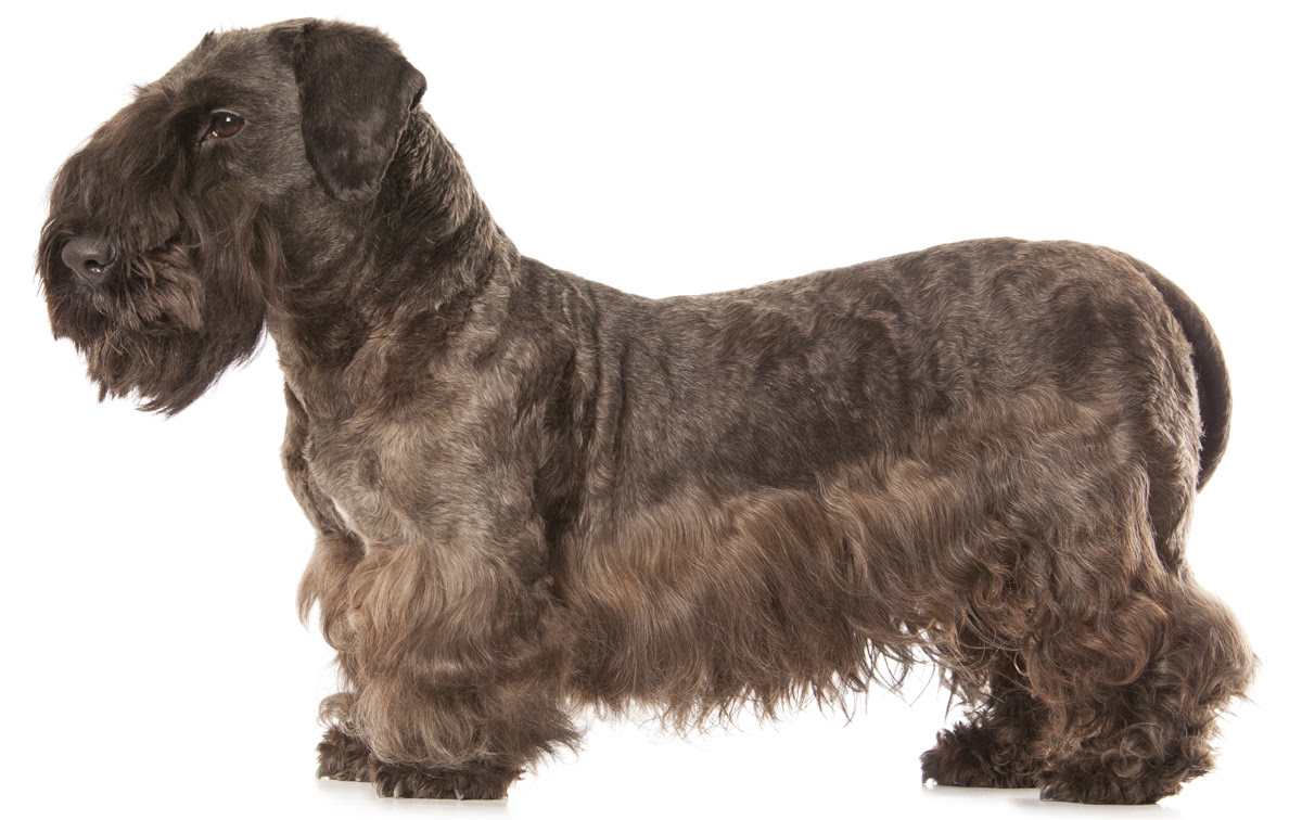 Cesky Terrier Dog Breed Information, Pictures, Characteristics \u0026 Facts  Dogtime