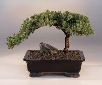 Bonsai Tree Seedling Identification Bonsai Tree