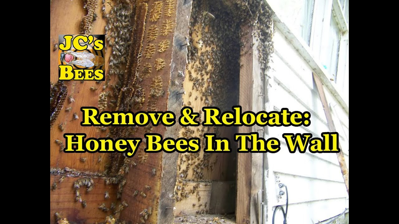 Remove & Relocate: Honey Bees In The Wall - YouTube