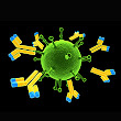 Antibody affinity is decisive in Type 1 diabetes in adults