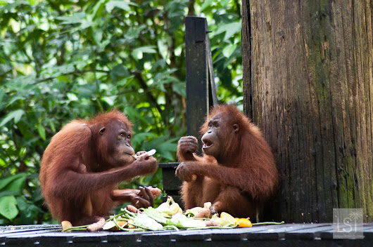 Orangutan Island: falling in love with the animals of Borneo