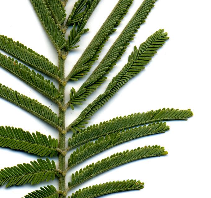 Acacia Dealbata Silver Wattle  C2 B7 Acacia Decurrens Green