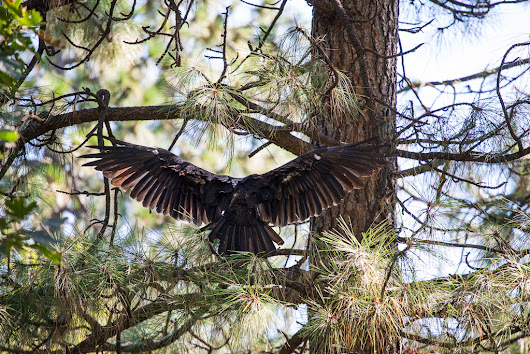 Turkey Vulture | Cathartes aura | EM Hahn Photography & Digital Arts