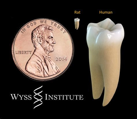 Researchers use light to coax stem cells to regrow teeth