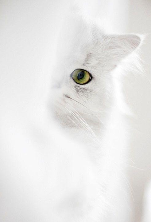 ❖Blanc❖ White cat kitten