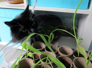 cat-corn1