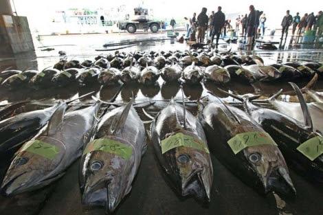 Atunes pescados en el Pacífico tras la crisis de Fukushima. | AFP