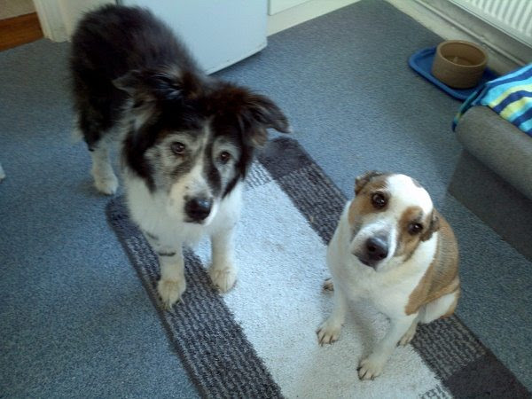 Ellie and Sarah – 11 year old female Border Collie cross Akita and ...