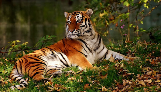 The Tiger - The Largest Cat Living on Planet Earth Today | Checkmember.com