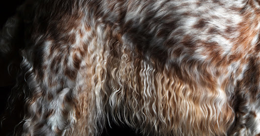 Westminster Dog Show Photos: Up Close and Personal - The New York Times