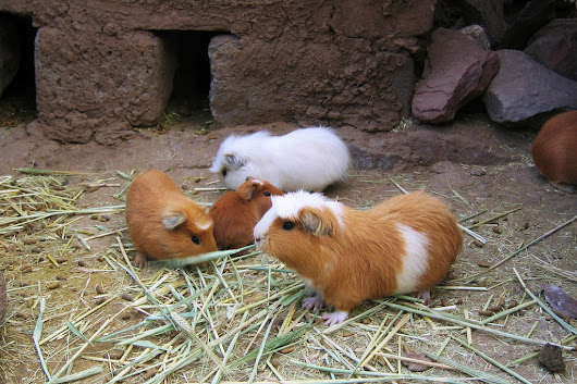 From Pets To Plates: Why More People Are Eating Guinea Pigs : NPR