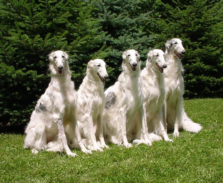 Borzoi Top Domestic Dogs Breeds