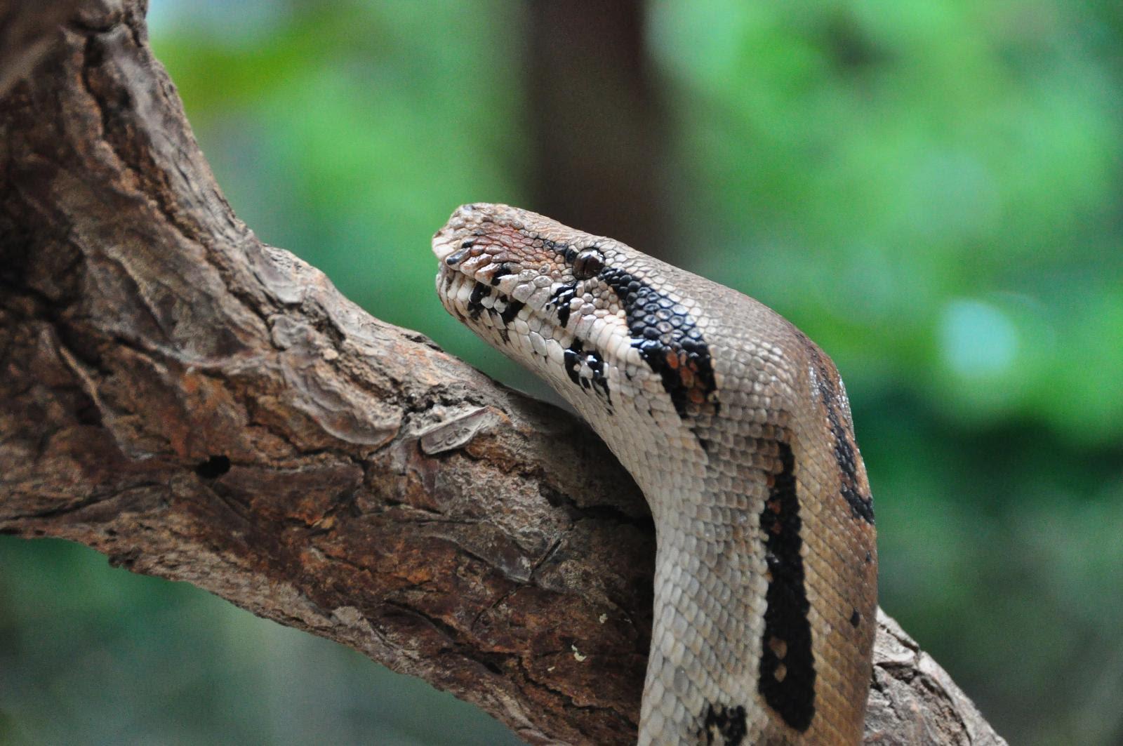 another deadly snake, Selvatura Park, Monteverde