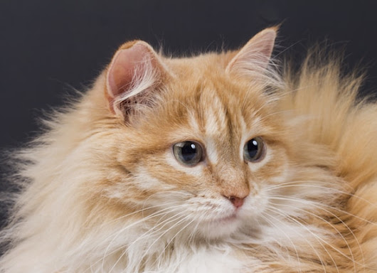 Facts About Cat Dander and Allergies