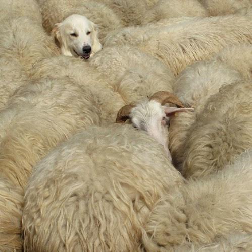 le biotope du patou c'est la laine ! por noisette* ( absente de flickr )