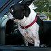 boston_terrier_watching_for_train
