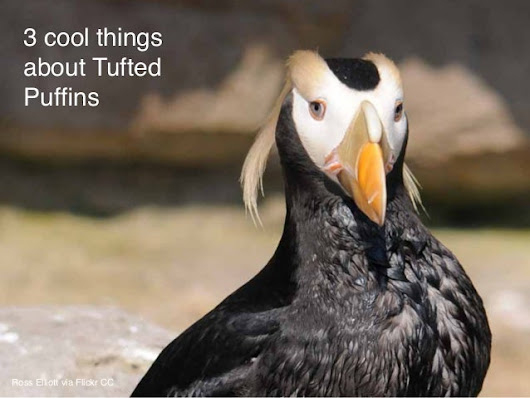 How 11 ordinary citizens helped save Tufted Puffins in Washington Sta…