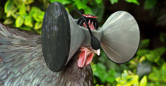 Man Developing Oculus Rift for Chickens