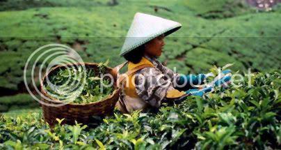 Bogor Tea Harvest