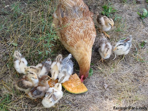 Lokey and her 10 chicks - FarmgirlFare.com