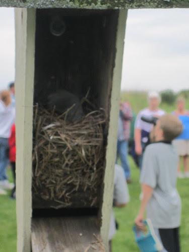 Inside a Bluebird Nest