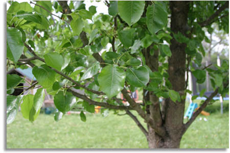 Southeastern Outdoors Cleveland Pear Trees