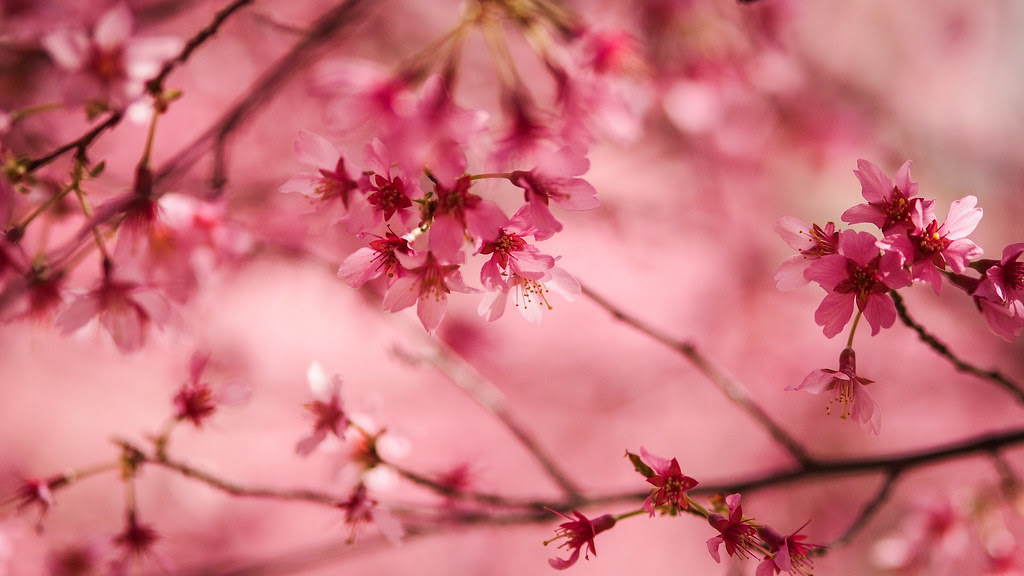 Cherry blossom|Washington D.C.