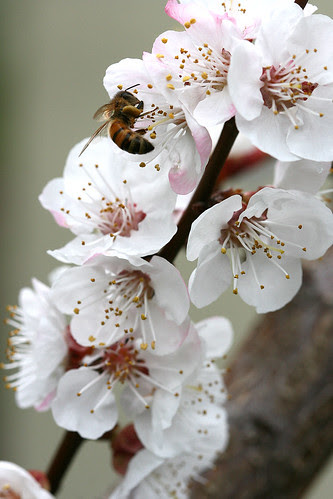 bee and apricot