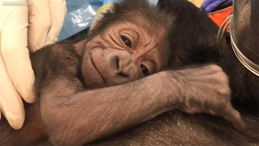 Philadelphia Zoo welcomes baby gorilla after emergency delivery |