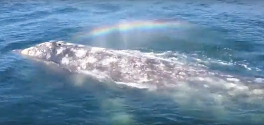 Watch This Whale Spout a Beautiful Rainbow From Its Blowhole