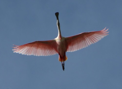 Roseate Spoonbill #1 (Inagua: Day 2)