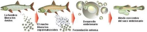 Fecundación externa en peces