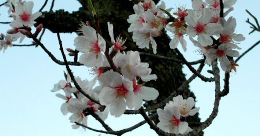 Almond blossom in Portugal -  Portugal Car Hire | Faro Car Hire | Algarve | Lisbon  | Algarve - Portugal | Pinterest