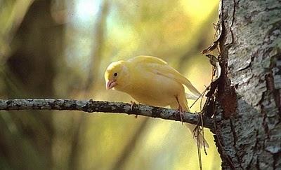 Berternak Burung Kenari Smk Al Jauhar Bringin