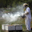 Study Finds No Single Cause of Honeybee Deaths