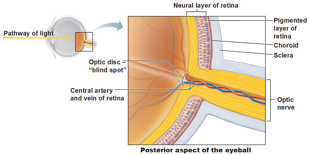 optic disc blind spot posterior eye neural layer of retina