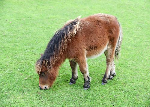 Brown_miniature_pony
