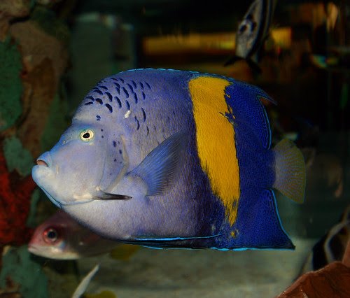 Maculosus angelfish