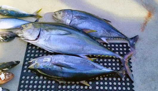 Yellowfin tuna caught in U.S. waters, in May | SDFish.com