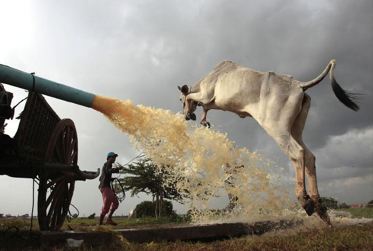 Стрибуча корова, Камбоджа
