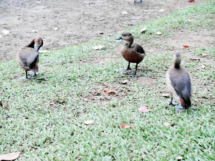 ugly ducklings at botanic gardens