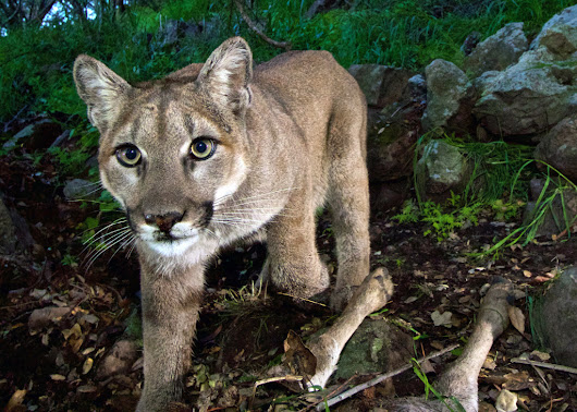 Mountain lions in the Santa Monica Mountains could die out in 50 years