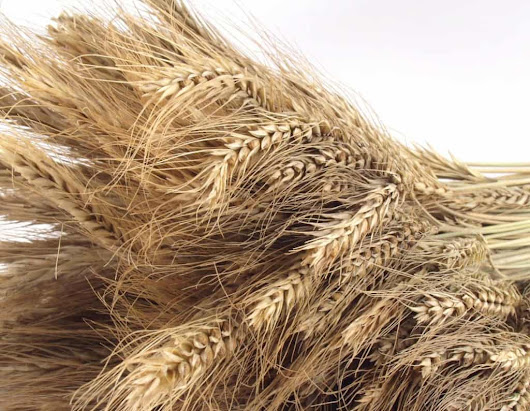 Wheat Is Good For Most People - Ann Garvin