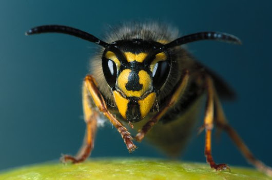 Get rid of wasp infestation in your property – know how!