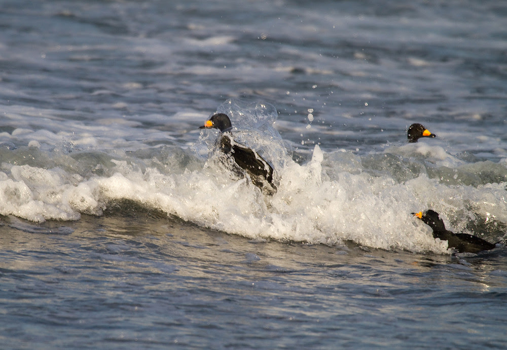 BlackScoters