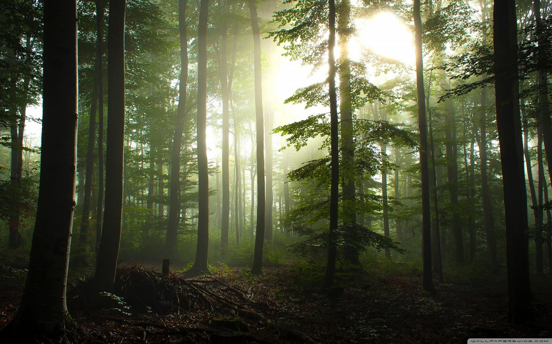 Coniferous Forest Ultra Hd Desktop Background Wallpaper For 4k Uhd
