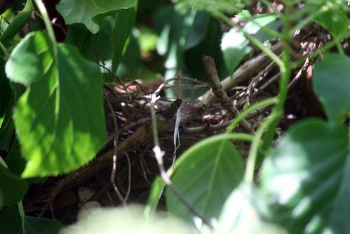 cardinal nest 006