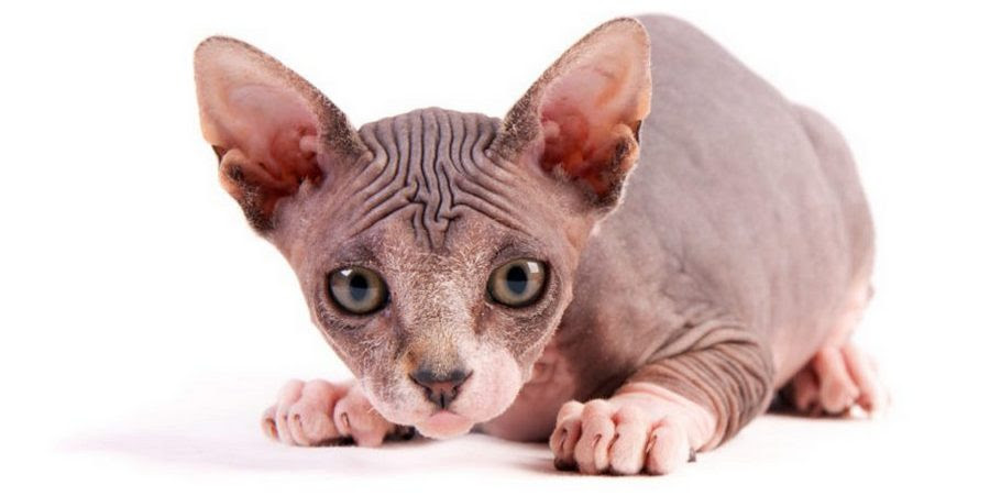Sphynxes A Variety Of Hairless Cats Sphynx Cats And Kittens